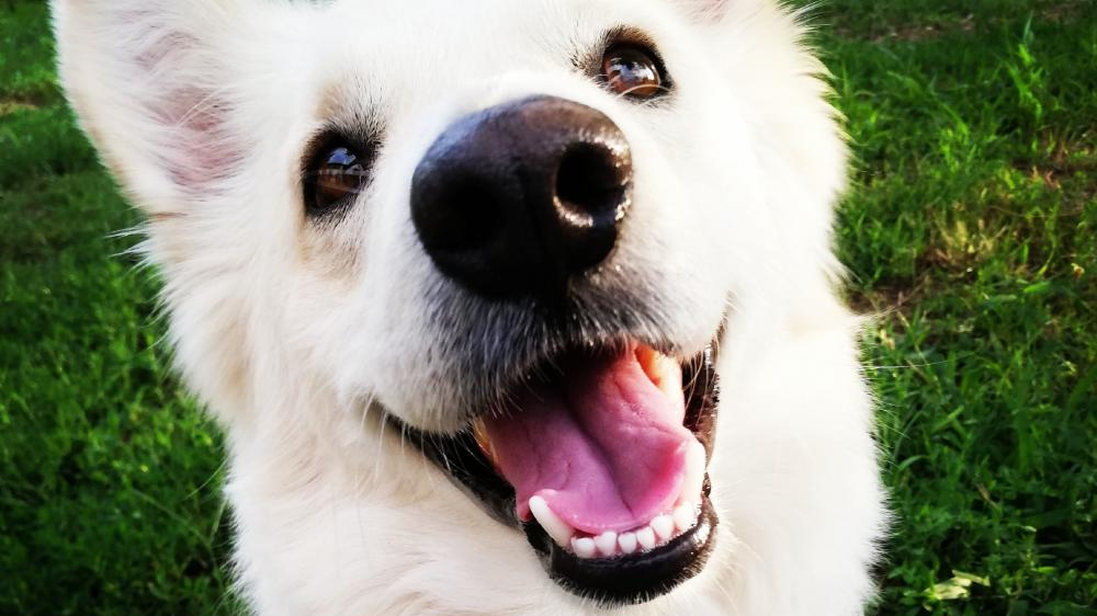 Smiling dog wallpaper