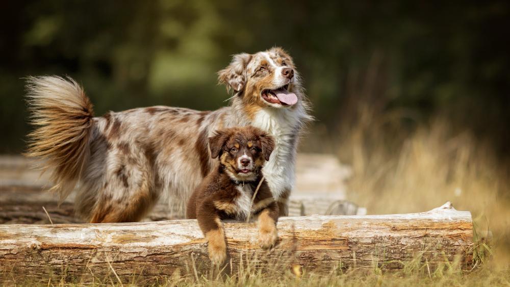 Australian Shepherd puppy wallpaper