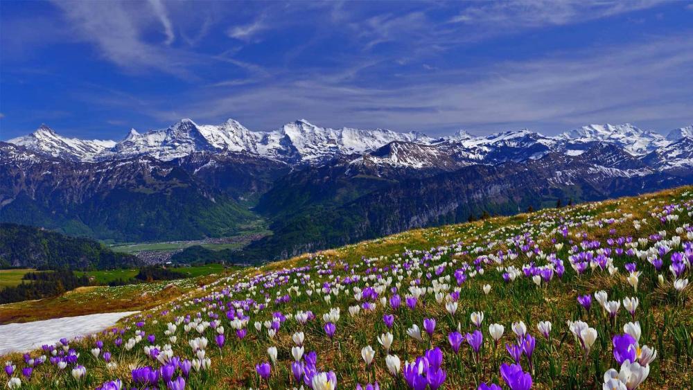 Spring crocus field in Männlichen (Switzerland) wallpaper