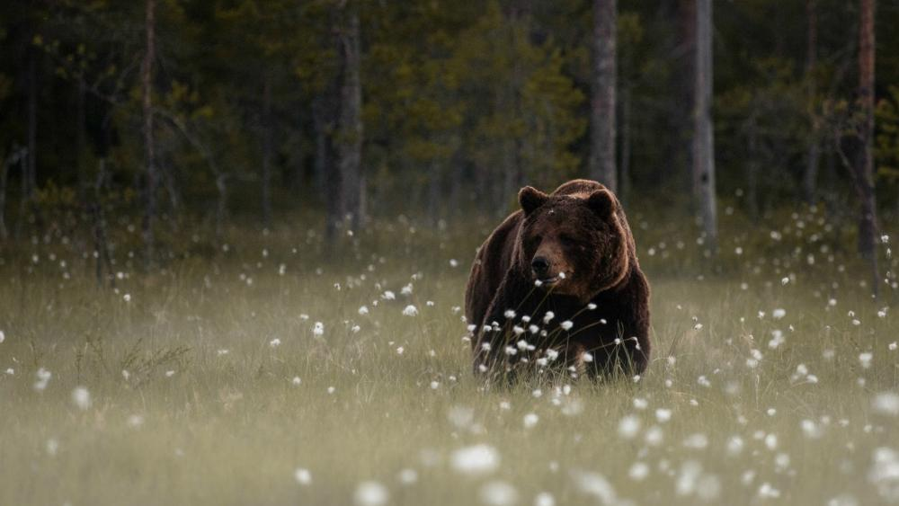 Bear in the forest glade wallpaper