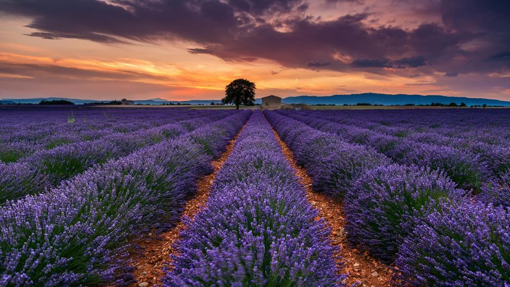 Valensole plateau, Provance, France wallpaper