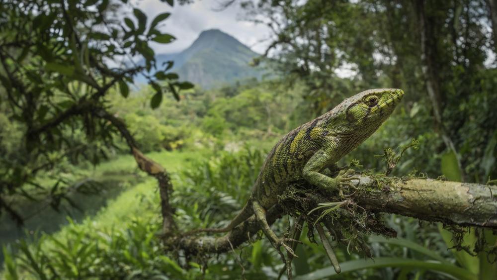 Green lizard in the green nature wallpaper