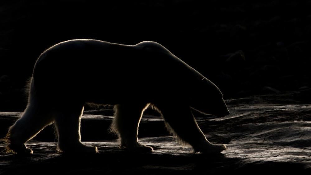 Polar bear in the darkness wallpaper