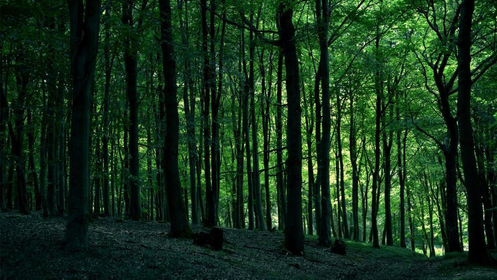 Green woods wallpaper