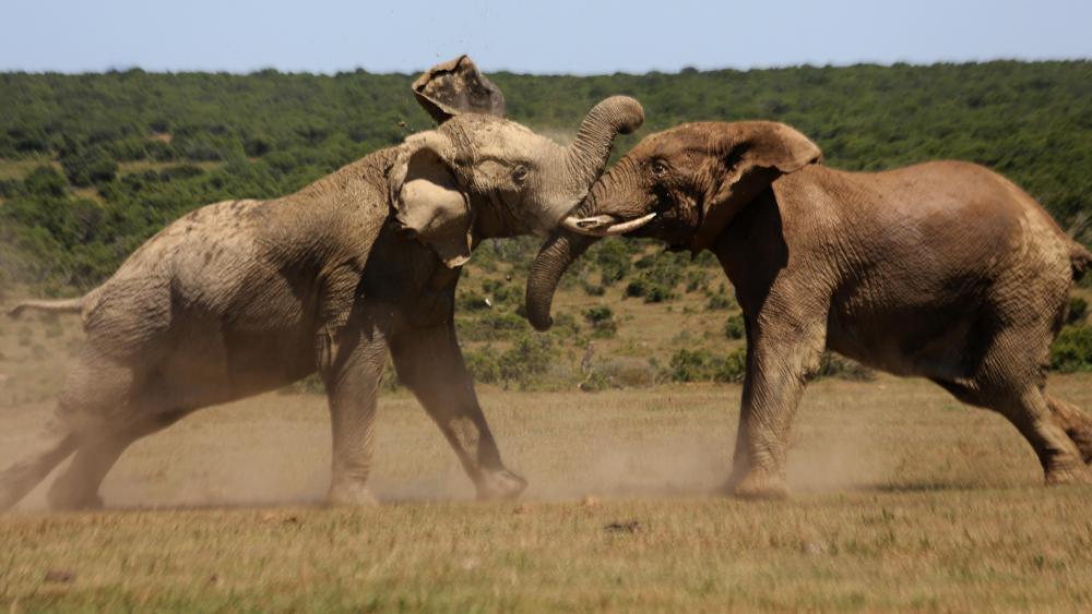 Bull Elephants Fighting wallpaper