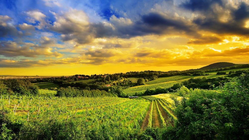 Vineyard hills of Vienna, Austria wallpaper