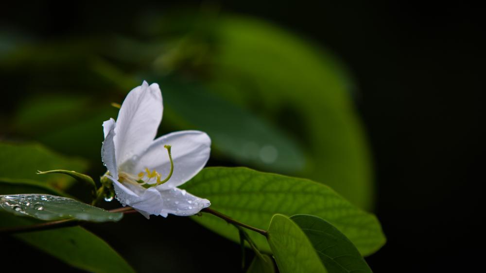 Dew drop on White Flower wallpaper