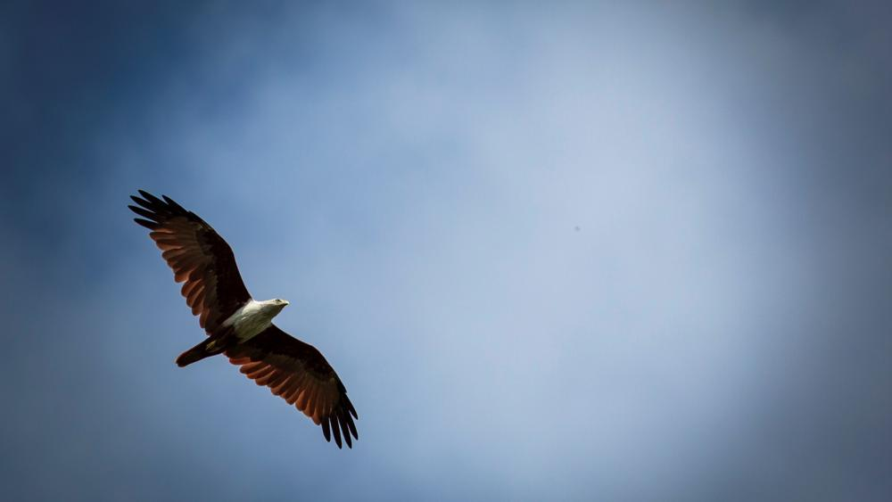 Brahminy kite on sky wallpaper