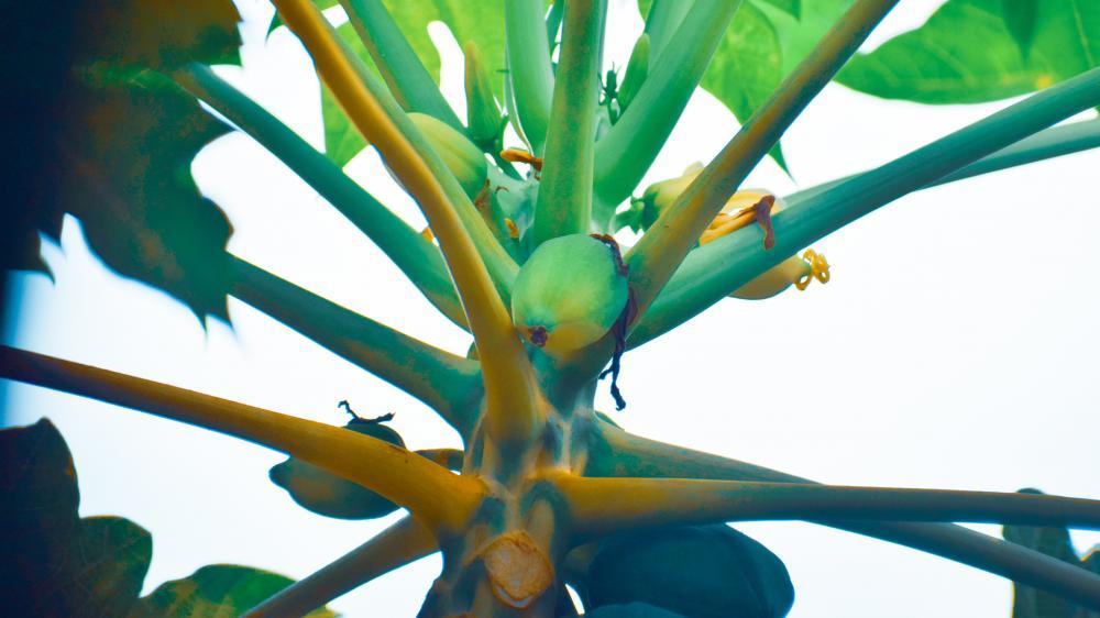 Papaya tree wallpaper
