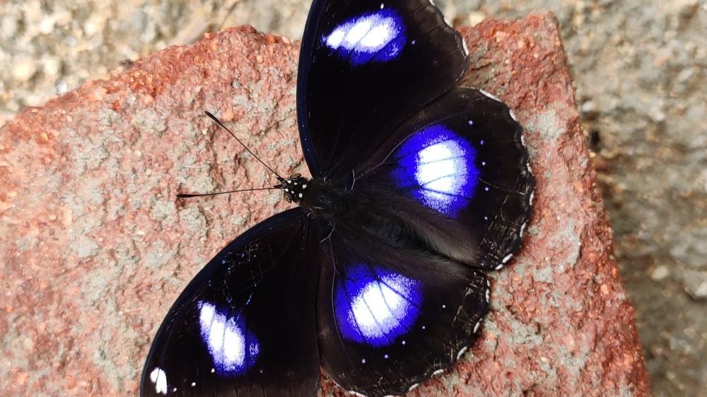 Blue moon butterfly wallpaper