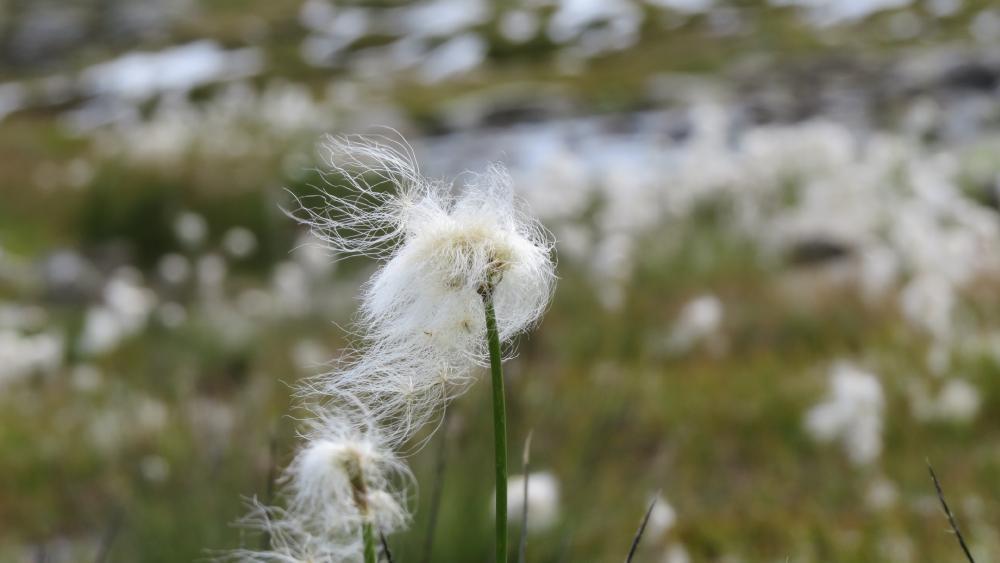 Cotton grass wallpaper