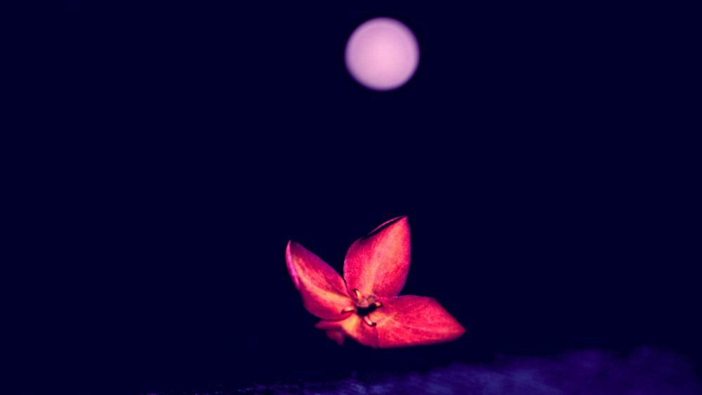 Red Dark Flower  wallpaper