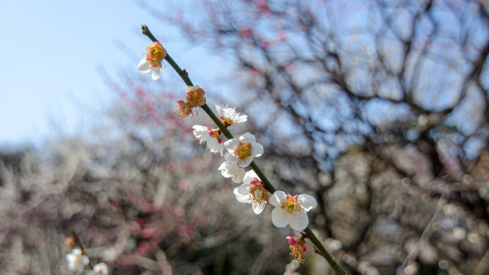 Sakura(Lens bokeh) wallpaper