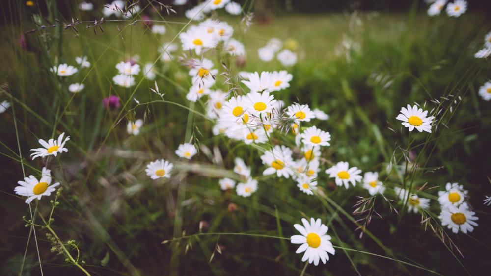 Wild flower field wallpaper