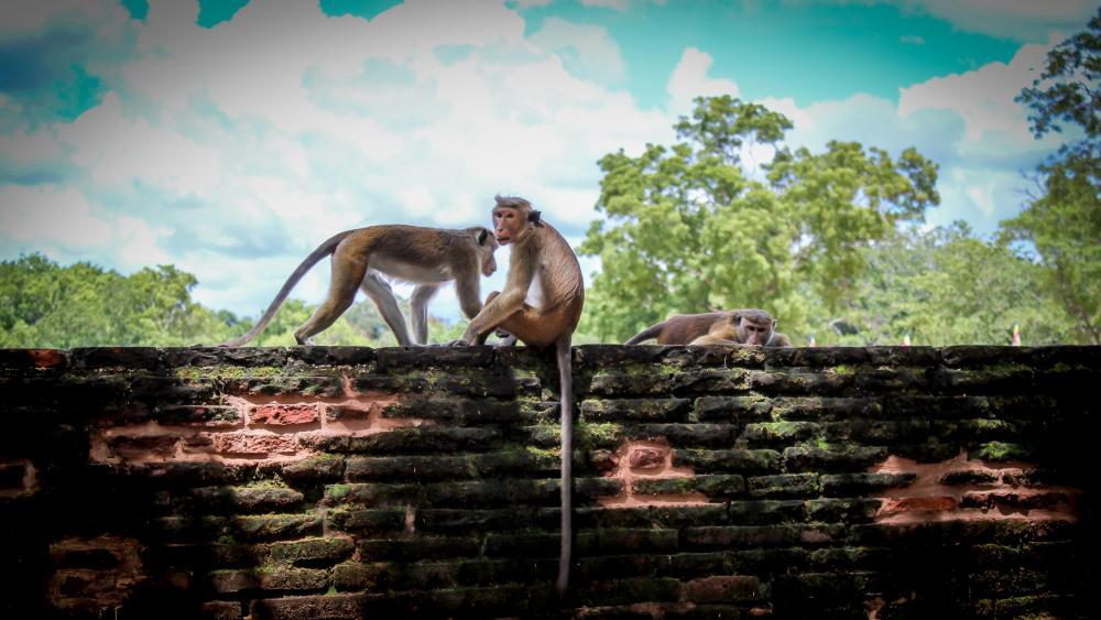 Relaxing Monkeys on the ruins wallpaper