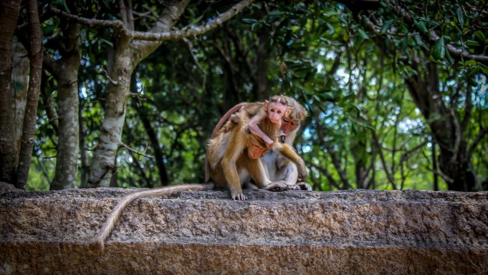 Monkey Family wallpaper