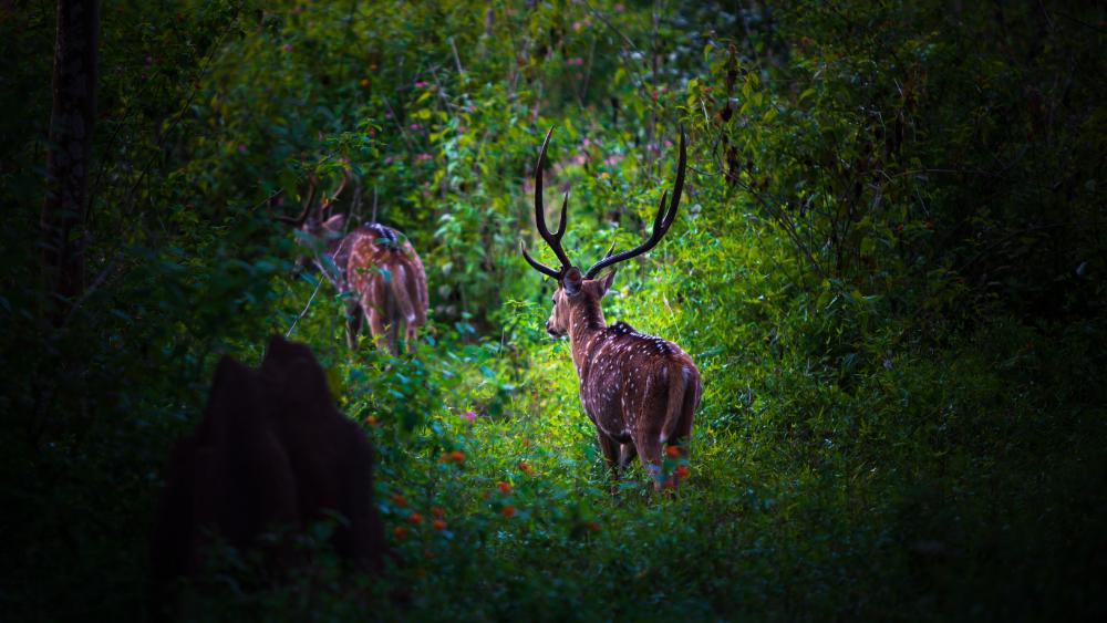 Chital/ Cheetal also known as Spotted deer/ Axis deer  wallpaper