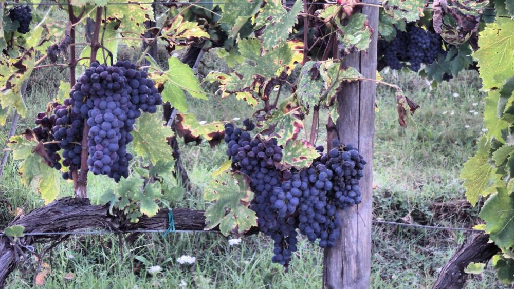 Italian vineyard wallpaper