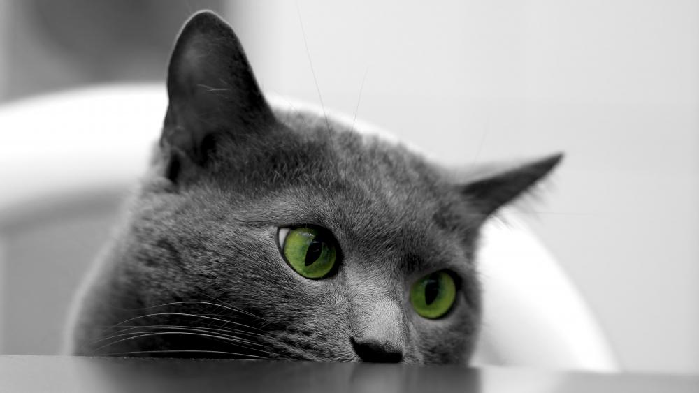 British shorthair cat with green eyes wallpaper