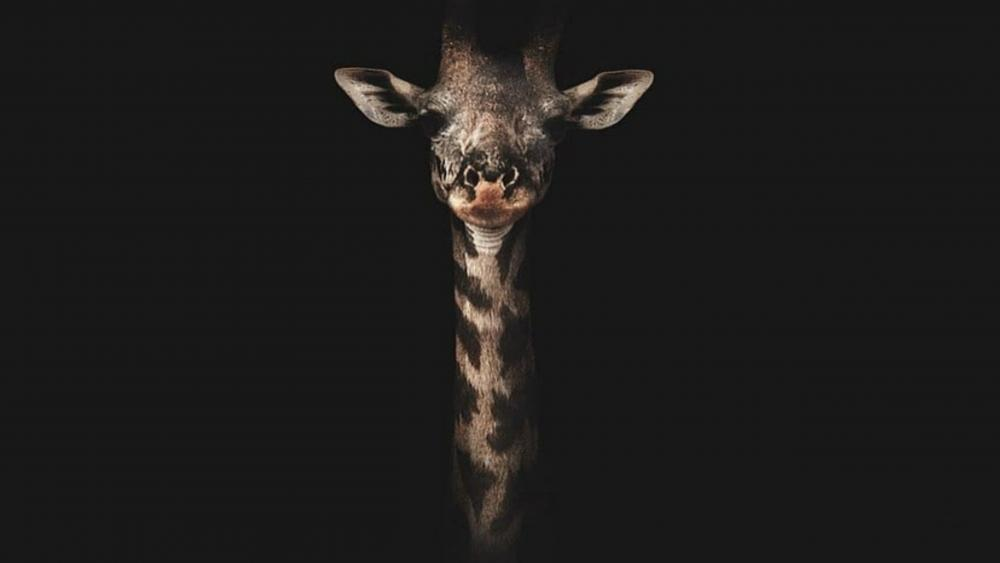 giraffe portrait wallpaper