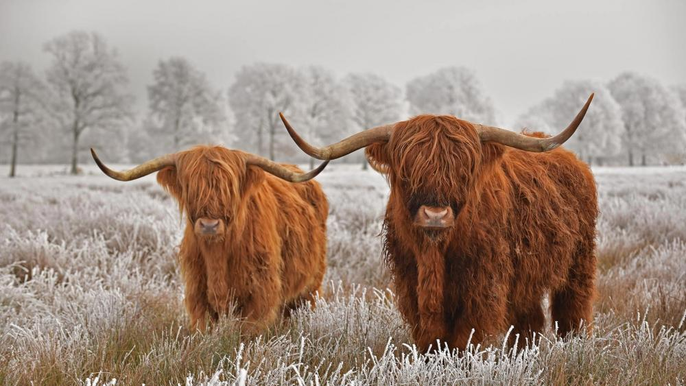 Hairy Scottish Highland Cows wallpaper