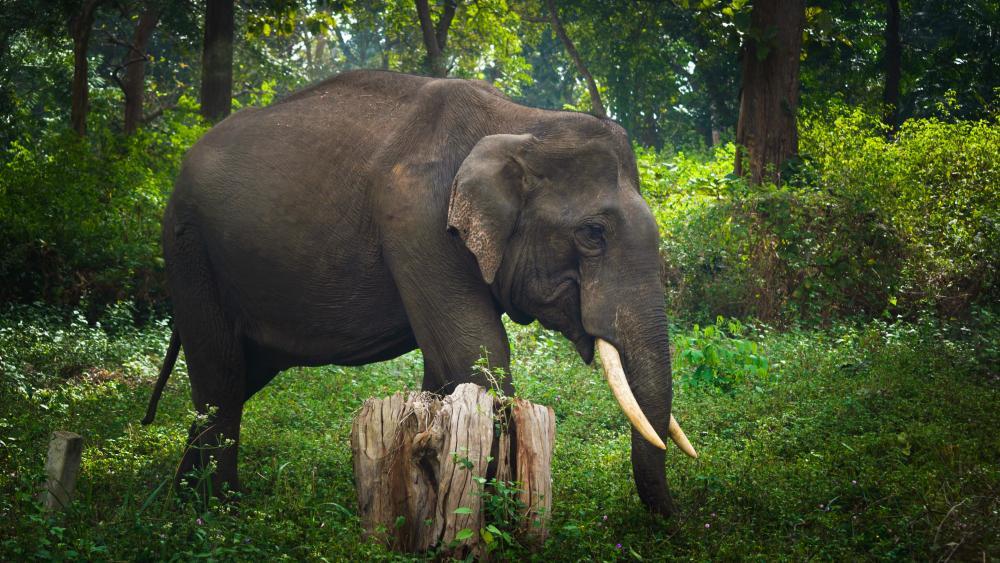 Wild Elephant wallpaper
