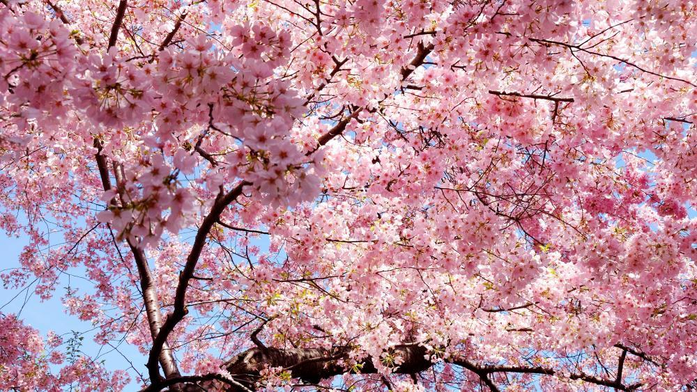 Pink Sakura Blossom wallpaper