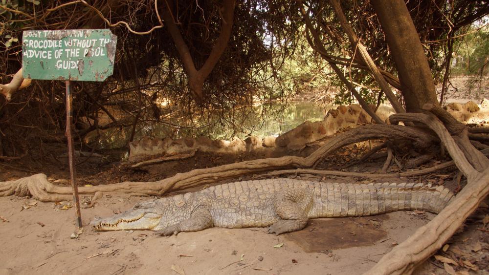 Krokodiel wallpaper