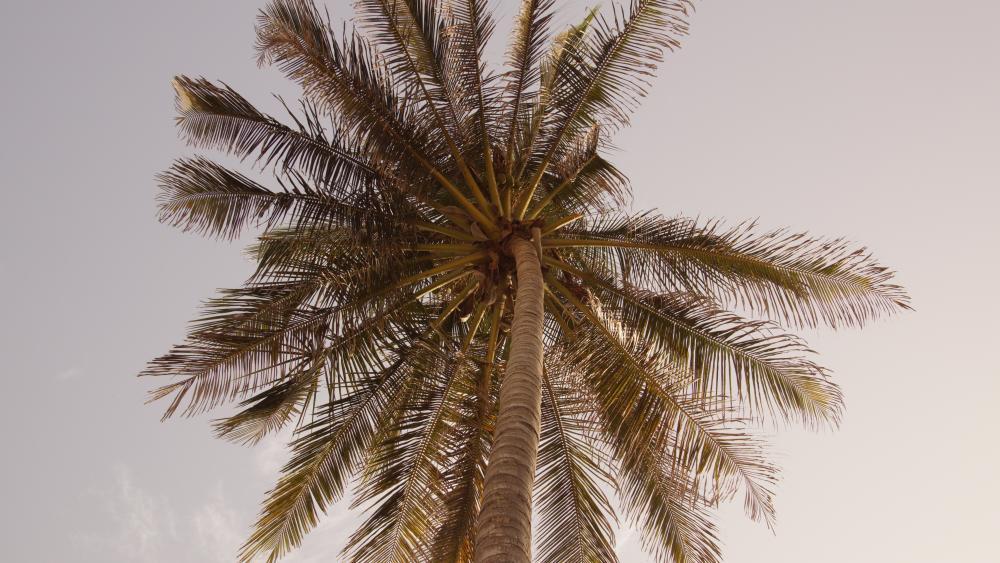 Palm tree in summer wallpaper