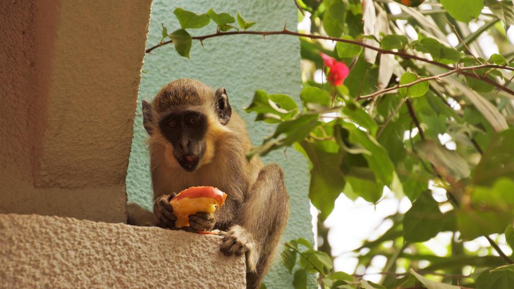 Affe beim Essen wallpaper