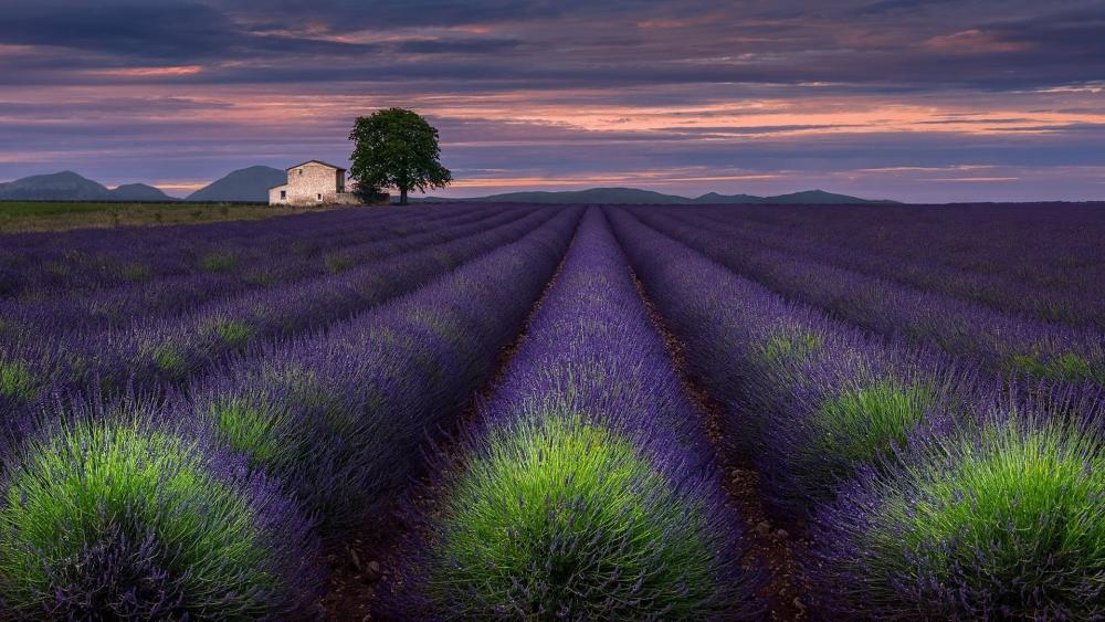 Valensole plateau lavender field, Provance, France wallpaper