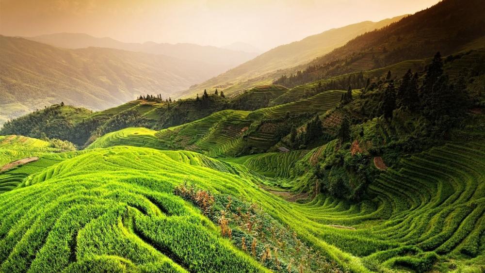 Terraced rice plant field wallpaper