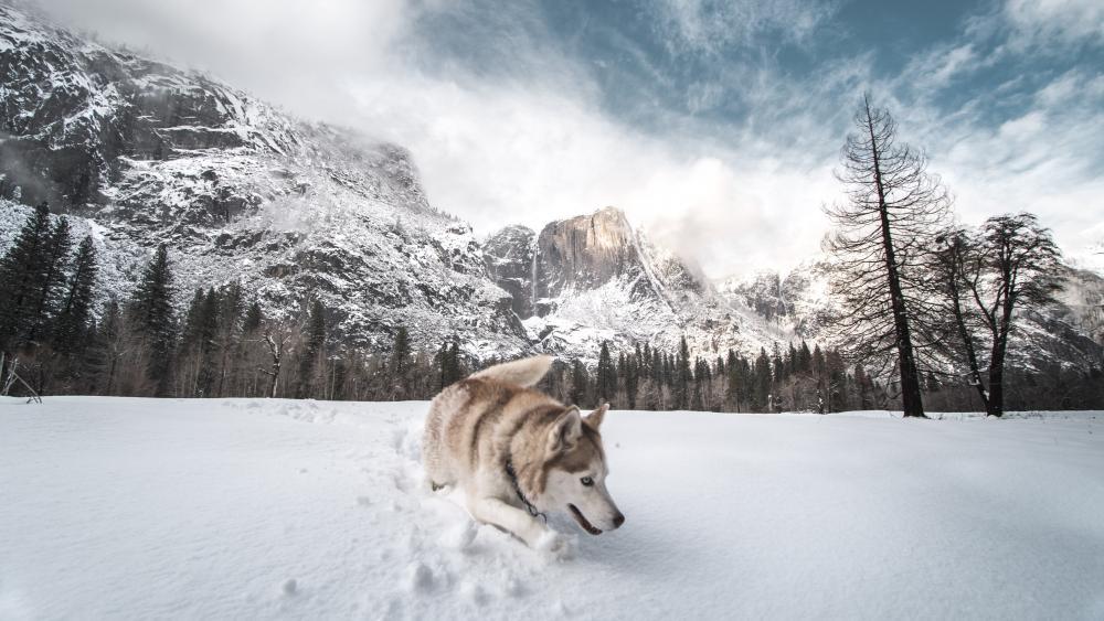 Siberian husky in snow wallpaper