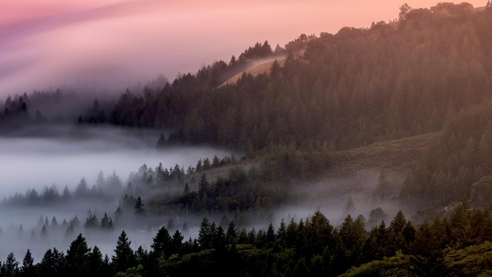 Foggy pine forest wallpaper