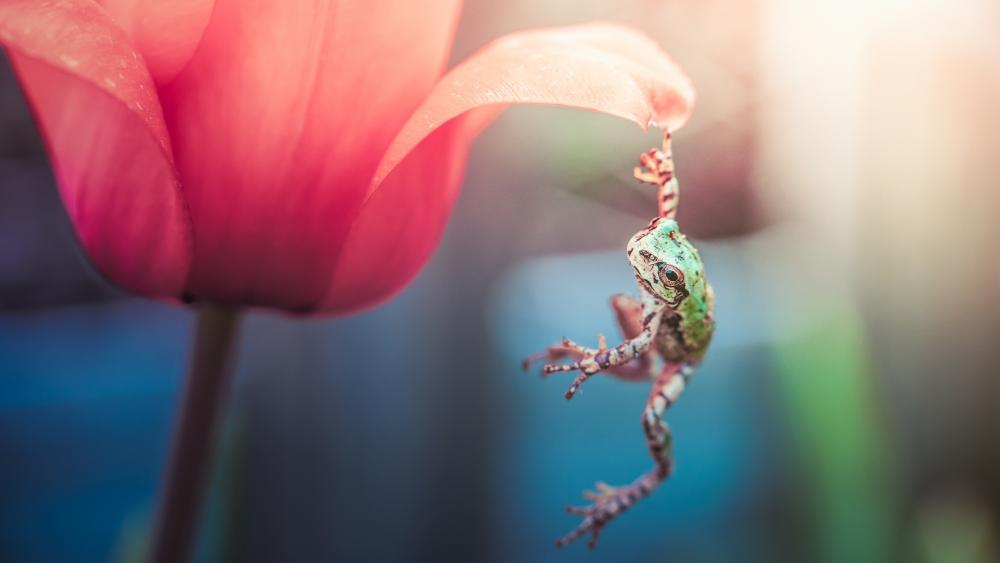 Frog hanging on a tulip wallpaper