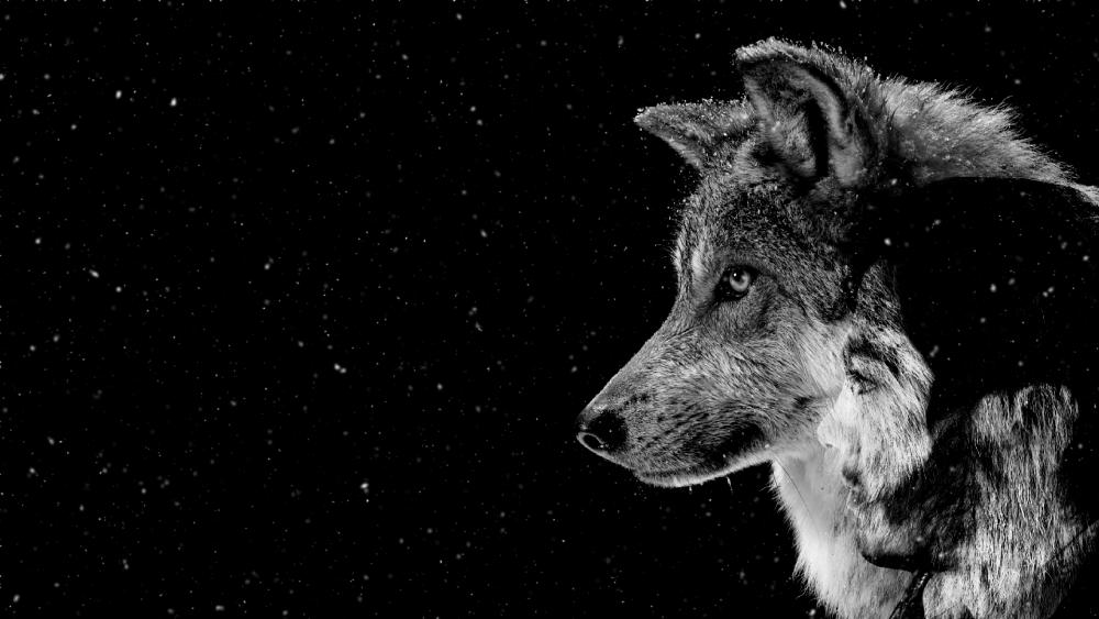 wolf man wallpaper