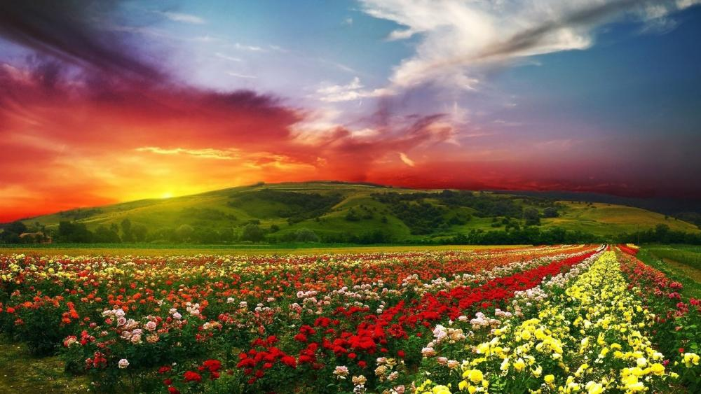 Rose Valley Bulgaria wallpaper