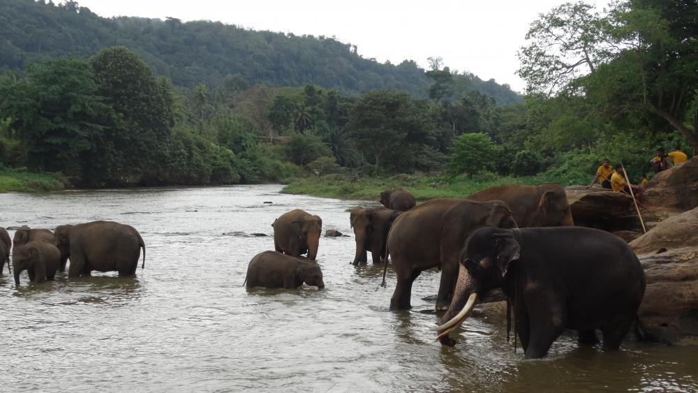 Elefanten beim Baden wallpaper