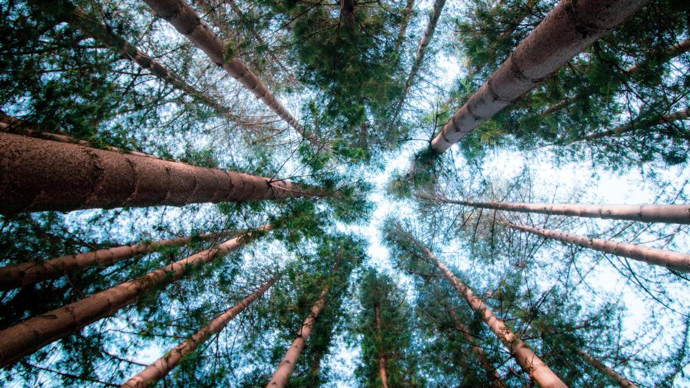 Trees low angle photography wallpaper