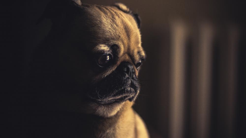 So cute pug puppy wallpaper