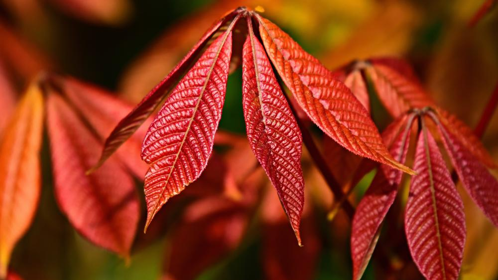 Red Chestnut tree leaves at fall wallpaper