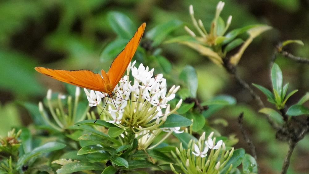Wunderschöner Schmetterling wallpaper