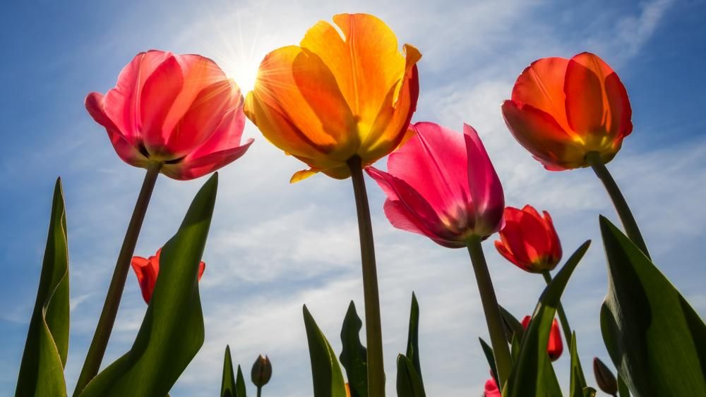 Spring tulips low angle view wallpaper