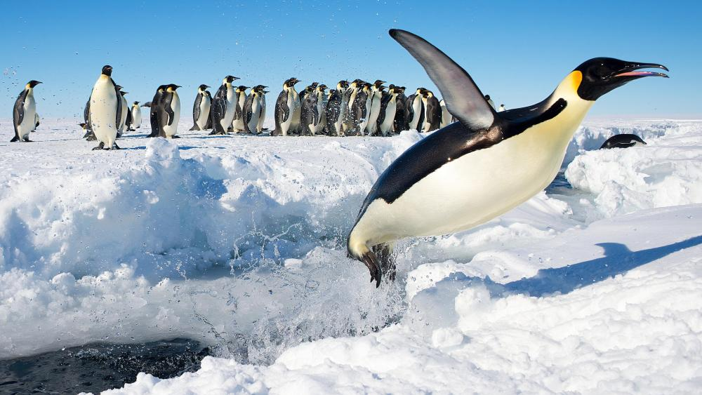 Emperor Penguin Jumping out of Water n Antarctica wallpaper