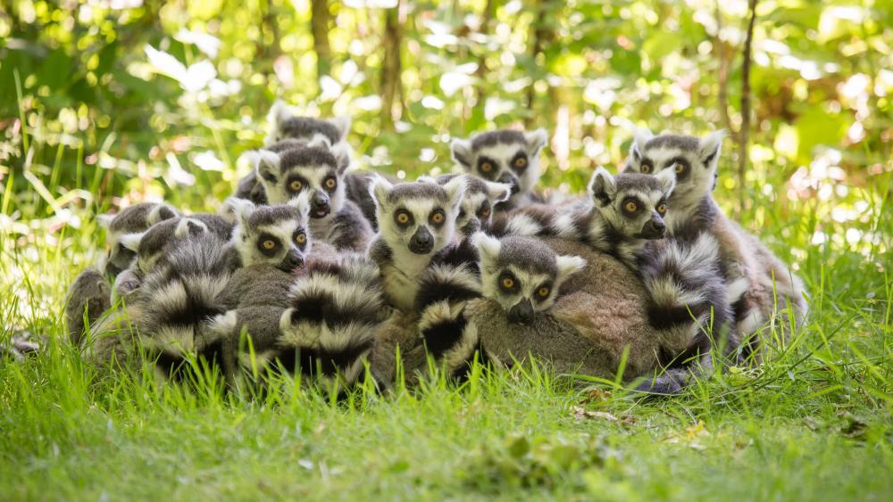 Lemur family wallpaper