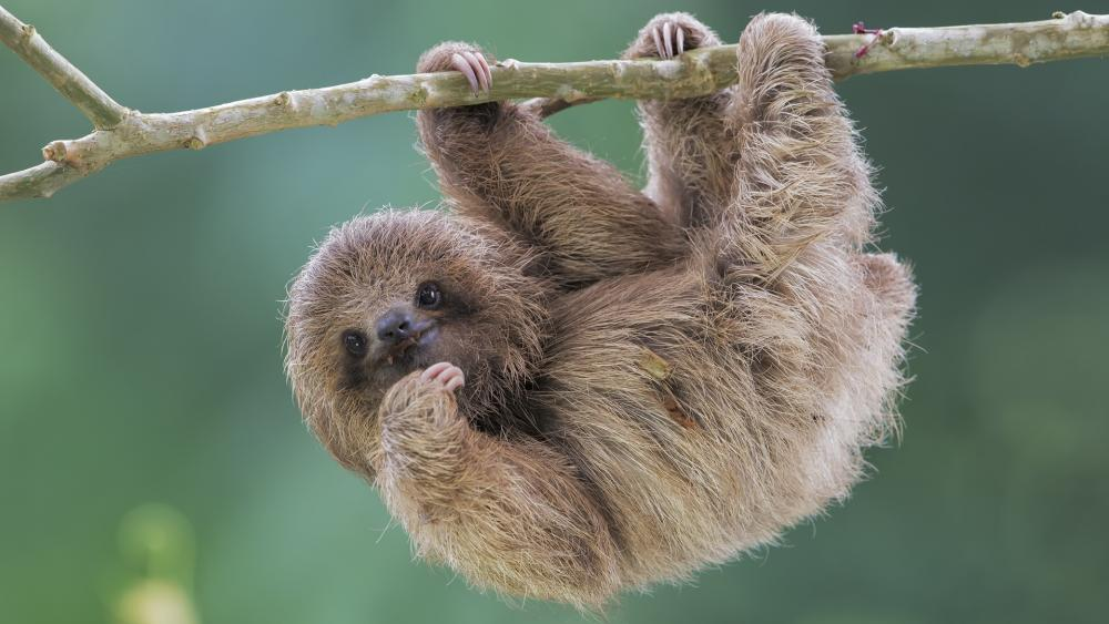 Baby sloth wallpaper