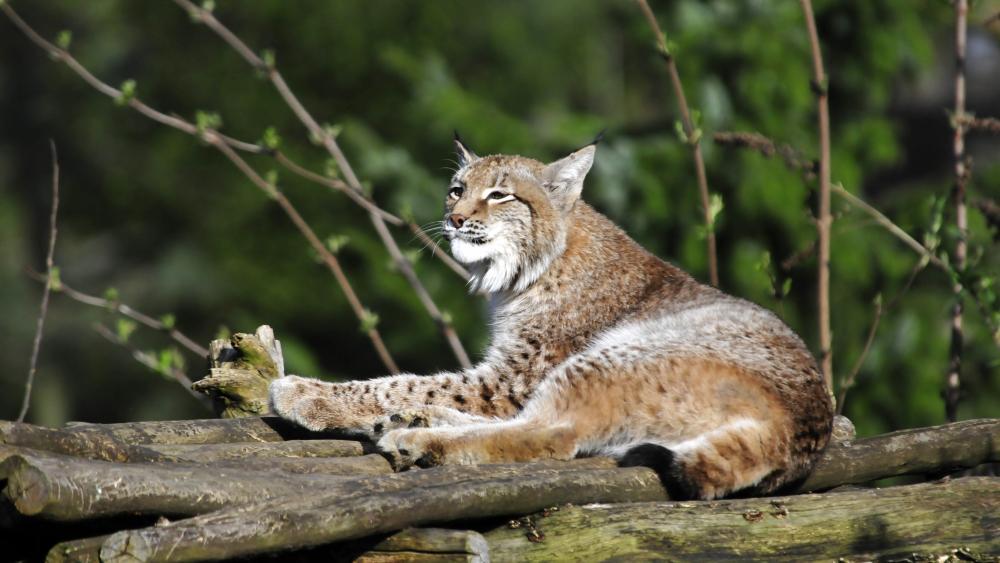 Red lynx wallpaper