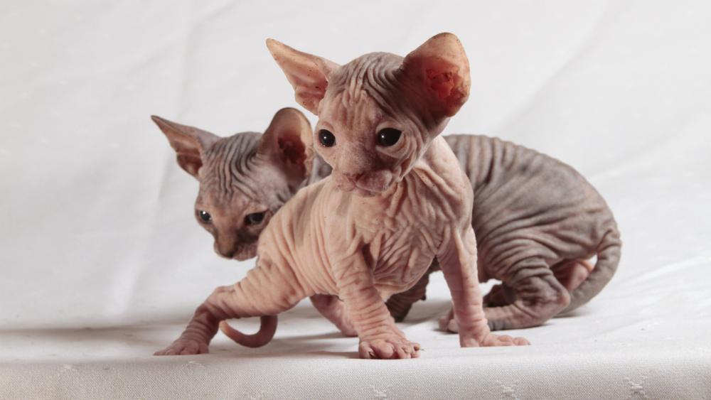 Sphynx kittens wallpaper