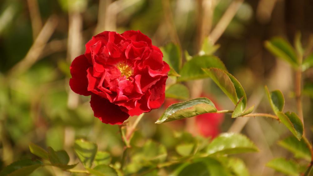 Rose on the roadside wallpaper