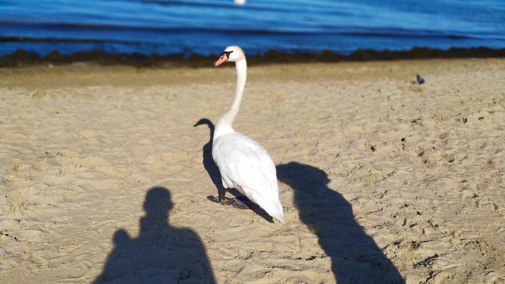 A beautiful swan in Sopot wallpaper